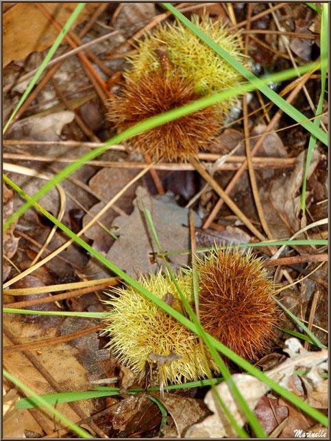 Bogues de Châtaignier au sol en automne, flore Bassin d'Arcachon (33)