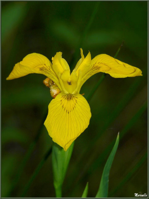 Iris des Marais, flore Bassin d'Arcachon (33)