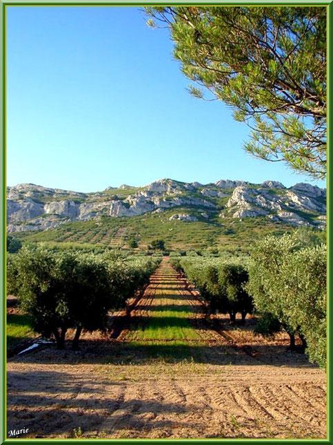 Les Alpilles et ses oliviers, Bouche du Rhône