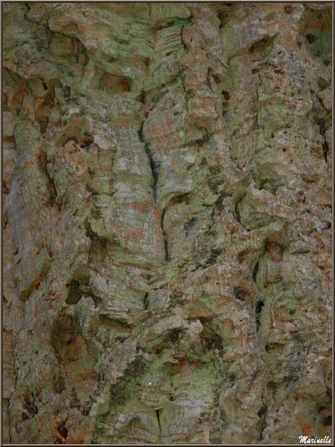Détail de l'écorce d'un Chêne Liège centenaire en forêt de Malakoff (Le Teich), flore Bassin d'Arcachon (33)