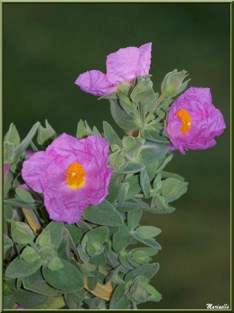 Cistes roses au jardin (pied ramené de la garrigue provençale)