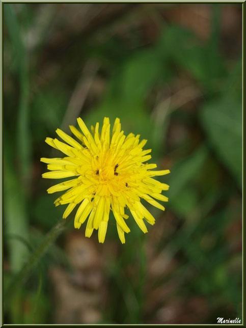 Fleur de Pissenlit et son coeur de fourmis, flore Bassin d'Arcachon (33)
