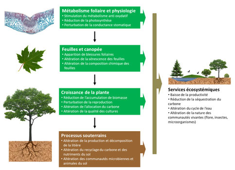 Effet de l'ozone sur la végétation