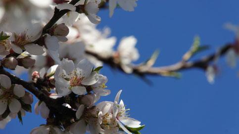 Mandelblüte im Februar