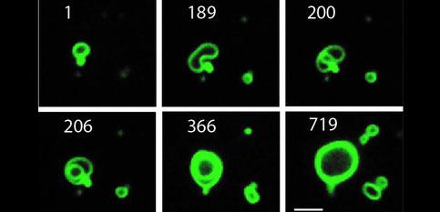 Croissance continue d'une membrane artificielle. Les membranes cellulaires en croissance sont observées dans cette séquence temporelle (les chiffres correspondent aux minutes de la durée).