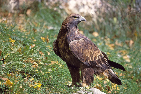 Semblable à cet aigle royal un juvénile a été observé dans la forêt du Bager d'Oloron