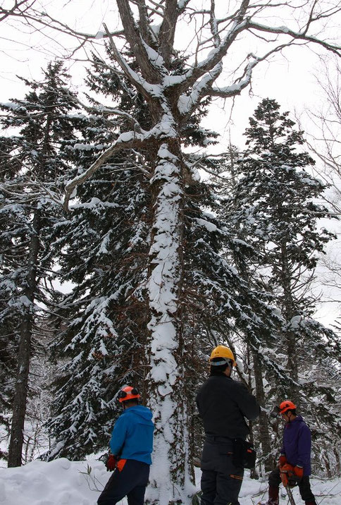 原料となるミズナラの立木。すでに伐採が終了し、融雪後の搬出が待たれています。
