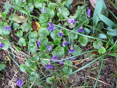 Duftveilchen (viola odorata)