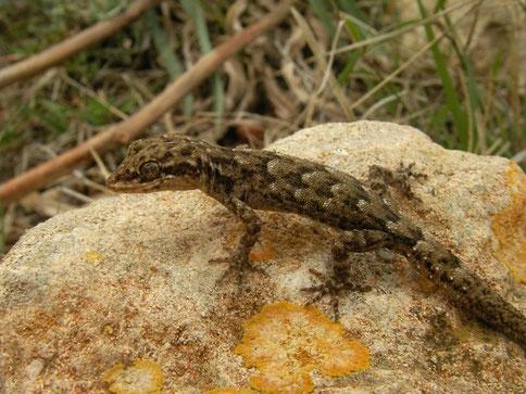 Naaktvingergekko (Mediodactylus kotschyi)