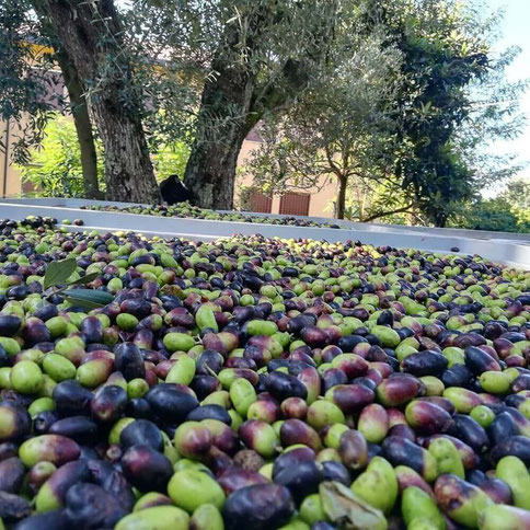 Olive calabria IGP Il Secolare