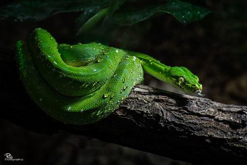 März 2017 - Green Mamba
