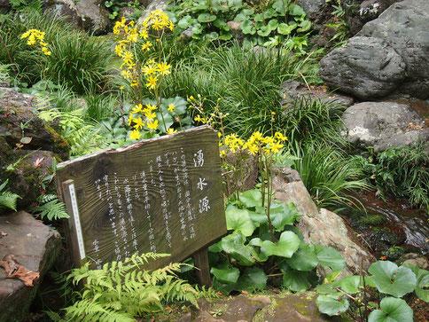 ●湧水源とツワブキの花。ハケから水が流れだし、次郎弁天池にそそぎます(殿ヶ谷戸庭園)。