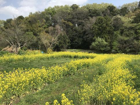 4月5日(2015) 菜の花の畦道:三鷹市の大沢たんぼにて