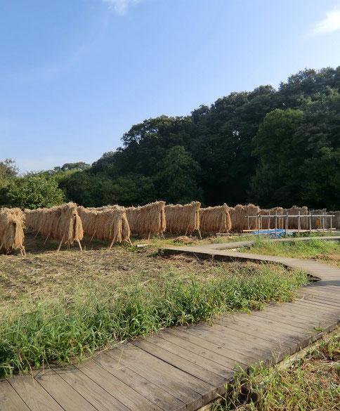 9月22日(2013) 稲刈りの後(ホタルの里:三鷹市大沢)