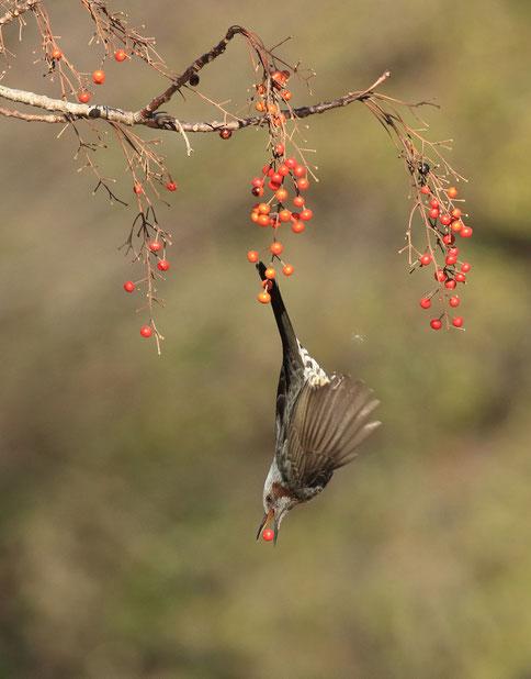 ●飛翔するヒヨドリ。イイギリの実を嘴にはさみ、アクロバットな姿態を見せるヒヨドリです。