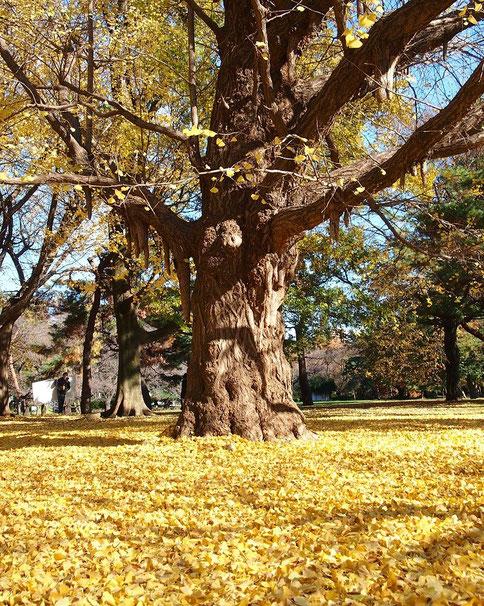●イチョウの古木