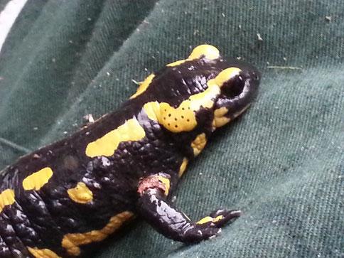 The salamandre .....une apparition bien réelle