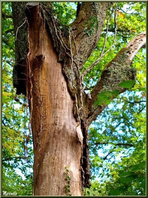 Vieux Chêne Pédonculé au tronc pelé et envahi de lianes de lierre, flore Bassin d'Arcachon (33)
