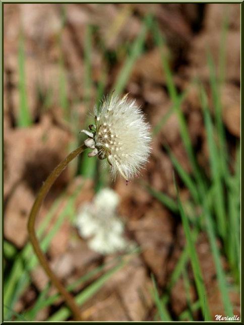 Akène de Pissenlit de profil, flore Bassin d'Arcachon (33)