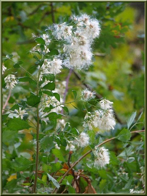 Baccharis ou Faux Cotonnier, en fin de floraison, flore Bassin d'Arcachon (33)