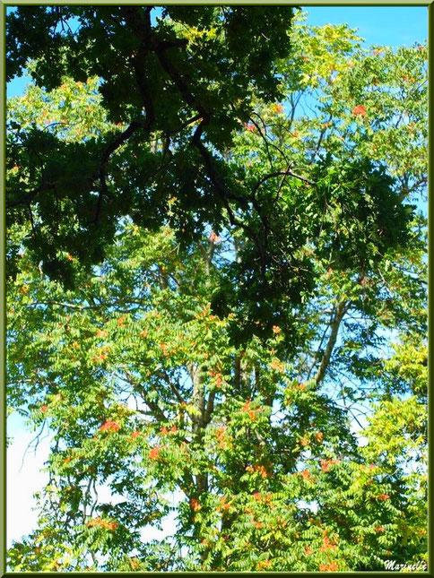 Frêne et ses grappes de samares orangées, flore Bassin d'Arcachon (33)