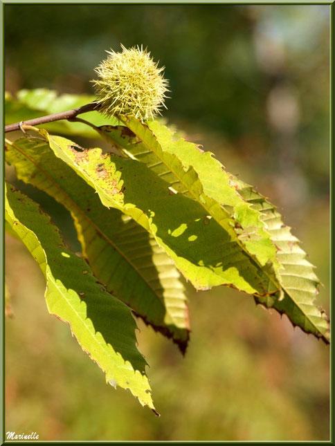 Châtaignier et bogue en automne, flore Bassin d'Arcachon (33)
