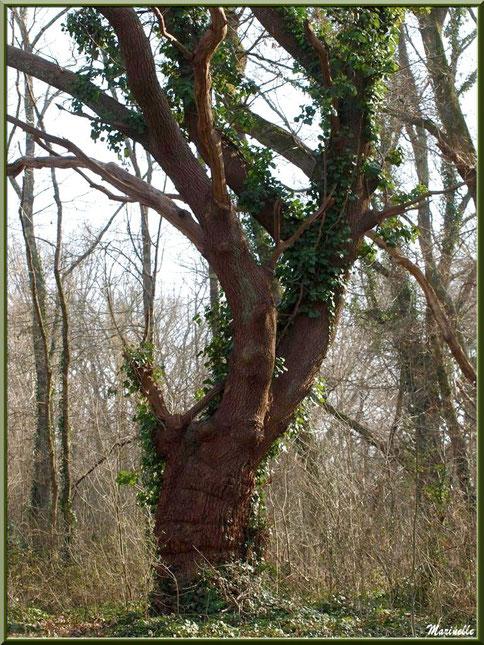 Vieux Chêne tortueux en tenue hivernale et envahi de lierre, flore Bassin d'Arcachon (33)
