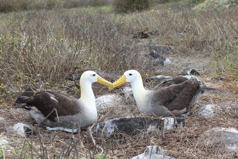 Galápagos Albatrosse sind für einige Monate im Jahr auf der Insel Española zu beobachten