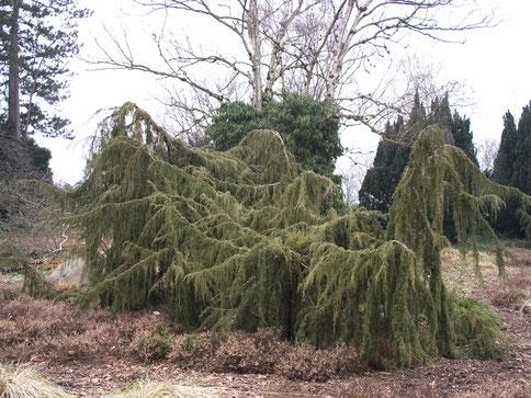Der hängende Heidewacholder (Juniperus communis ´Horstmann´) unterstreicht mit seiner markanten Wuchsform den Charakter von Heidegärten