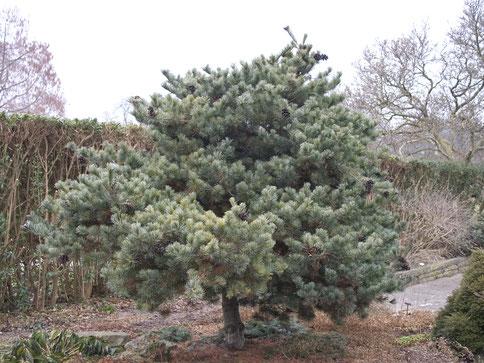 Die blaue Mädchenkiefer (Pinus parviflora ´Negishi´) fällt durch ihre elegante, graublaue Nadelfärbung auf