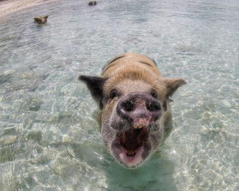 Hungriges Schwein