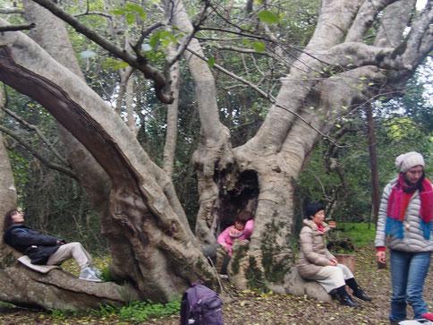 アフリカンツリー太古の森のミスト、ホワイトスティンクウッド