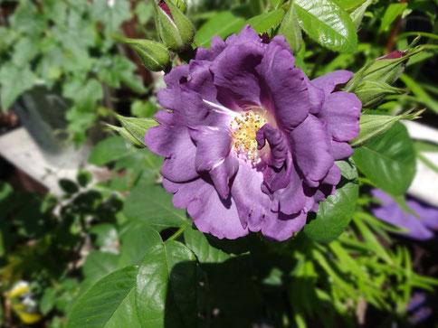 Die erste blaue Blüte am 14. Juni