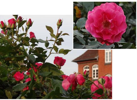 Bild: Rose Blüten Pink Sommer Duft