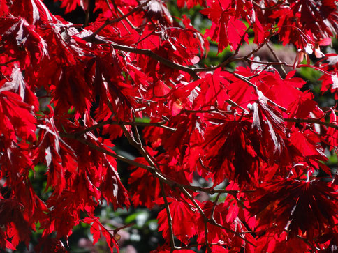 Bild: glühend, roter Fächerahorn in der Herbstsonne