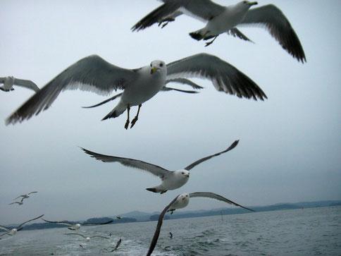 一昨年行った東北 松島にいたかもめ。力強く飛ぶ姿に生命の力を感じ、なにか励まされるようでした。