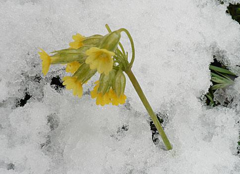 Schnee winter Schlüsselblume Primel