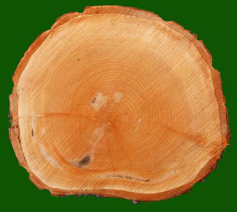 Baumscheibe einer frisch geschlagenen 48-jährigen Linde. Die rötliche Färbung beruht auf den noch hohen Gehalt an Feuchtigkeit. Dunkle Einfärbungen deuten auf Rindenverletzungen, welche das Wachstum der Jahresringe beeinträchtigten. Foto H.Kuhlen