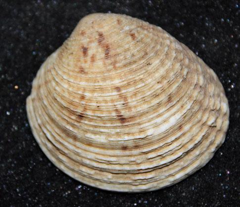 Venus verrucosa, litorale romagnolo