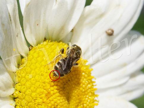 Bild: eine Furchenbiene, Halictus spec., an der Wiesen-Margerite, die namensgebende Furche im letzten Tergit der Weibchen ist gut zu erkennen
