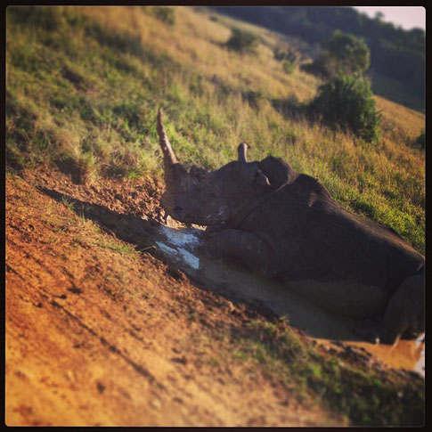Rhino versperrte uns den Weg