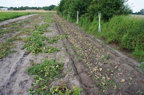 Nach dem Entfernen des Kartoffelkrautes