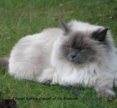 Sibérien c'est un chat hypoallergique. Sont taux de FelD1 est quasi absent dans ses secrétions!