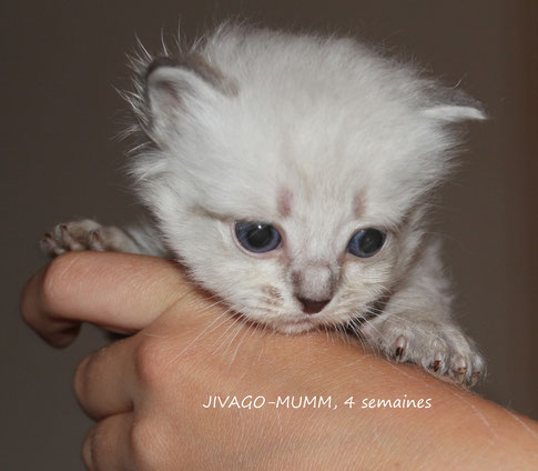 Le 30/06/2014, mon tendre Jivago, seal-silver-tabby-point