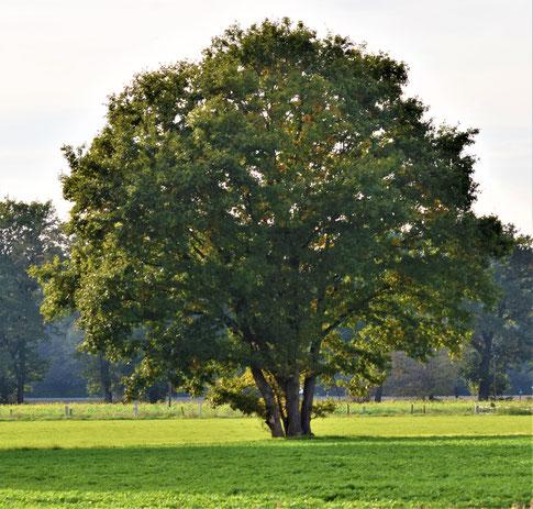 Rotbuche im Naturpark Hohe Mark