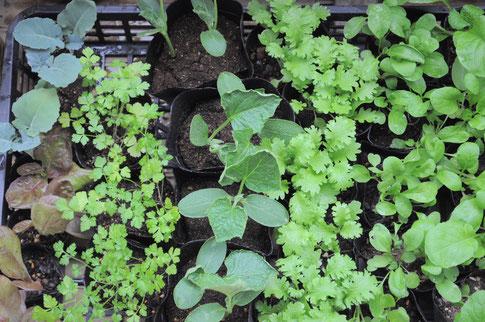 無農薬で育てています野菜の苗/1ポット¥100 サニーレタス/ブロッコリー/イタリアンパセリ/四葉きゅうり/わさび菜/アレギュラロケット/小松菜