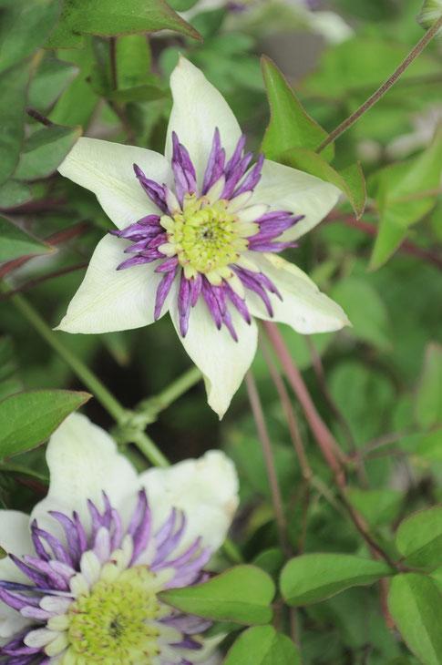 """鉢植え クレマチス""""ビエネッタ"""" 1鉢¥3800 白い花弁と中心部の紫色が個性的なクレマチスです。[SOLD]"""