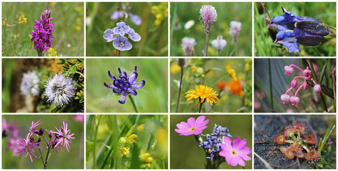The variety of flowers on the Alpine meadows is breathtaking.