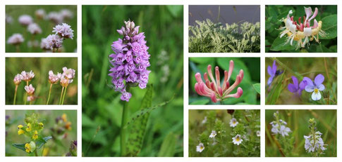 Amazing variety of flowers on the moist meadows in the dunes and salt marshes.