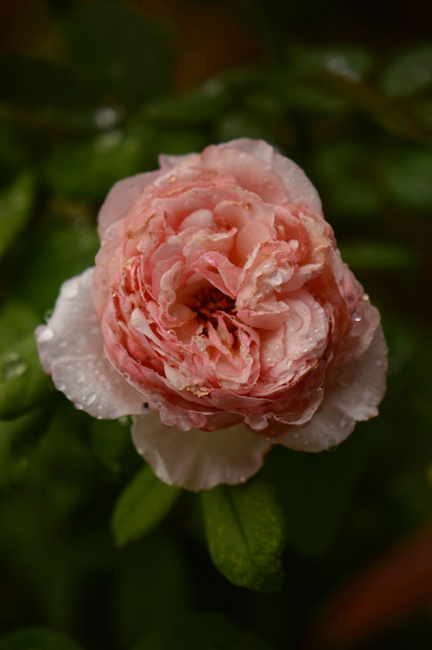 rose, english rose, david austin, amy myers, photography, small sunny garden, desert gardenjames galway,